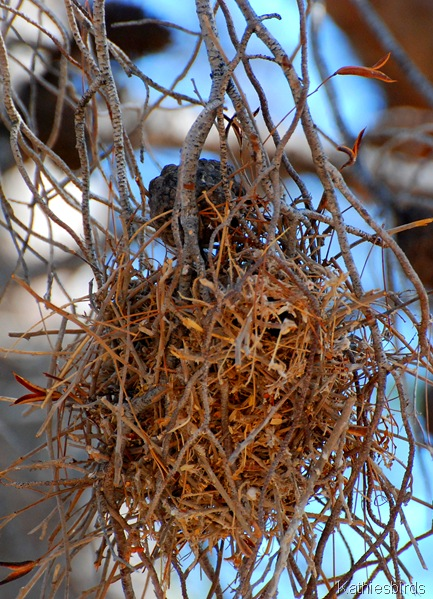 11. verdin nest-kab