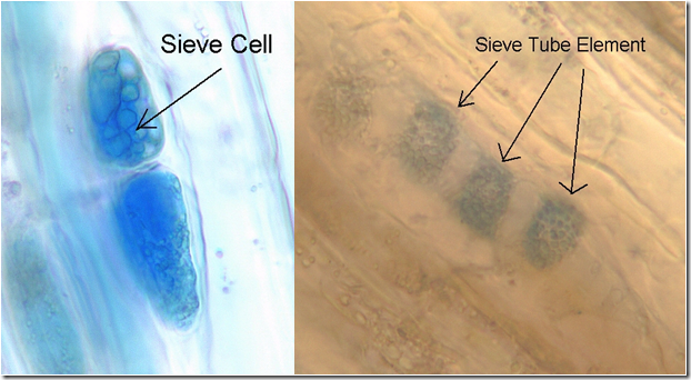 Sieve cells and Sieve tubes