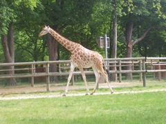 2008.05.26-012 girafe