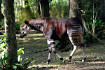 Okapi en captivit dans la rserve de faune  Okapi, 2005.