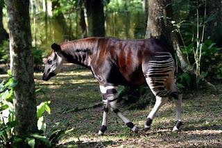 Okapi en captivité dans la réserve de faune à Okapi, 2005.