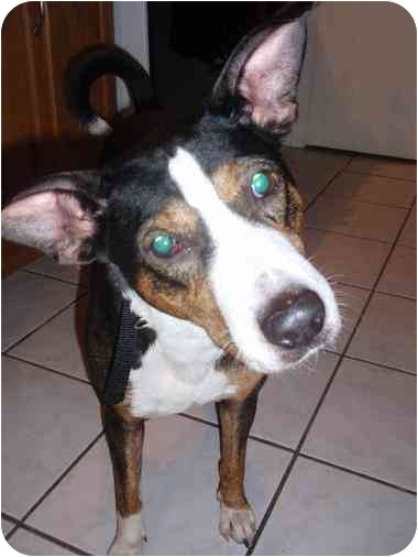 The Count, from Hillside, Illinnois, is a super cute basenji/beagle mix. He loves to lay his head in your lap and just wants a