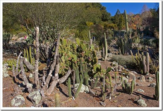 111228_UCBG_cactus_garden
