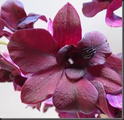Orchid 'Black Cat' Dendrobium (1)