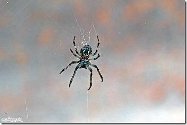 Araña, Larinioides cornutus.