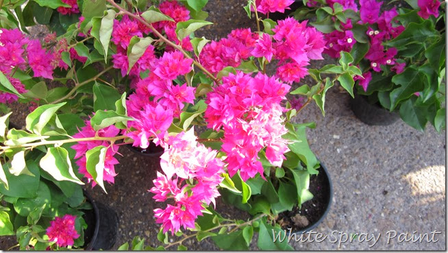 Double Bloom Bougainvillea