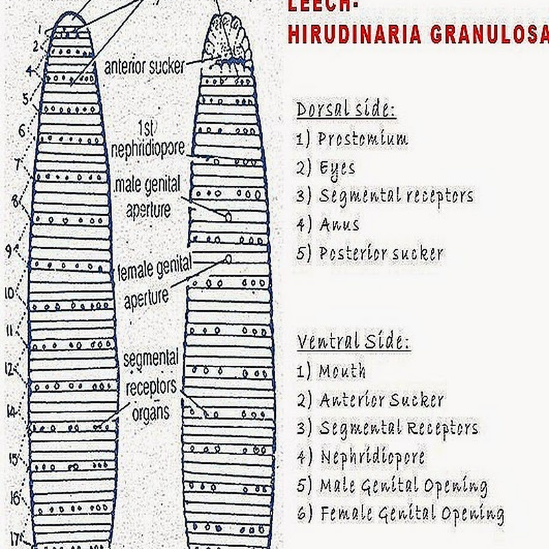 Hirudinaria External Characters Biozoom