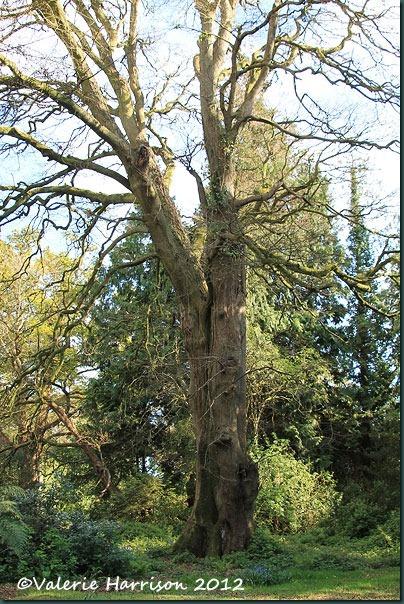 15-old-tree