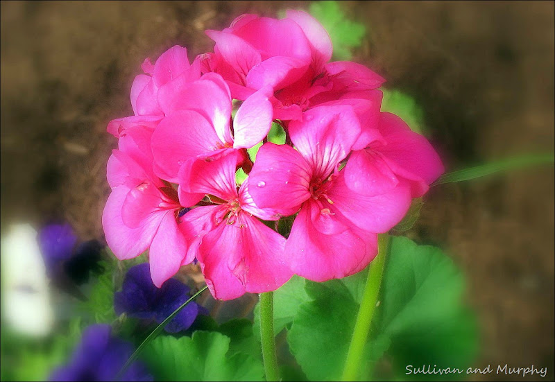geranium
