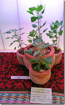 Plantas de quinua en macetas, bajo luz artificial en Tokyp, Japón-Noriko.Obata