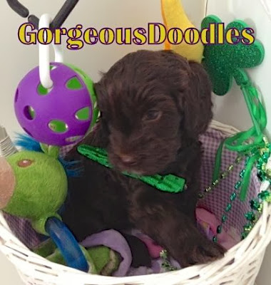 dark chocolate labradoodle puppy