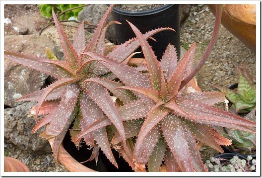 120928_SucculentGardens_Aloe-microstigma