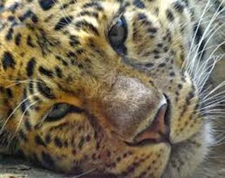 Amazing Pictures of Animals, Photo, Nature, Incredibel, Funny, Zoo, Leopard,Panthera pardus, Mammals, Carnivora, Alex (9)