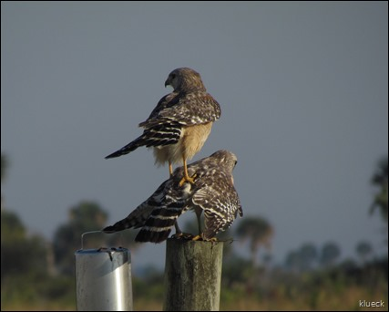 mating Red Shouldered Hawk on Prairie