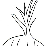 cebolla-2.jpg