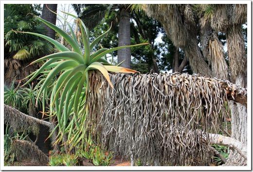130403_Lotusland_Aloe-Garden_AM_Aloe-thraskii_02