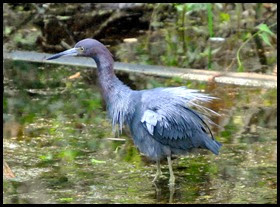 01c - Fakahatchee Strand Boardwalk - Little Blue Heron