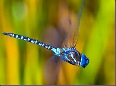 Amazing Pictures of Animals, photo Nature, exotic, funny ,incredibel Zoo, Dragonfly, Insecta, Alex (11)