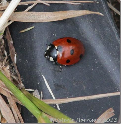 18-7-spot-ladybird