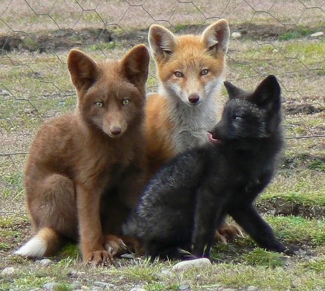 Fox_26