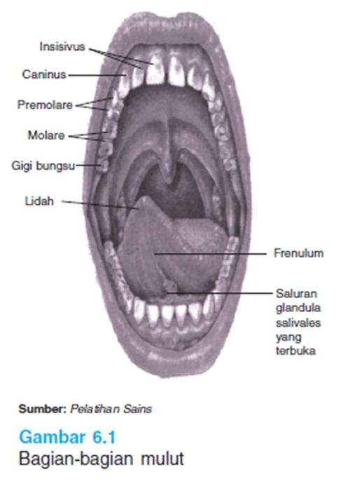 Bagian - bagian mulut