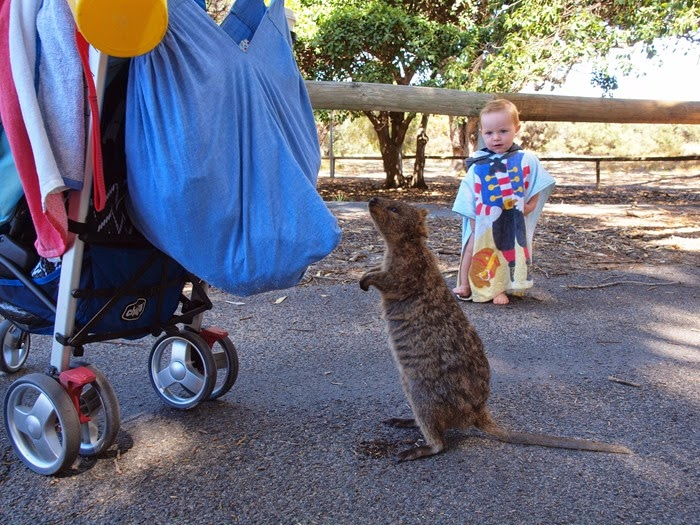 virtù - meeting a quokka