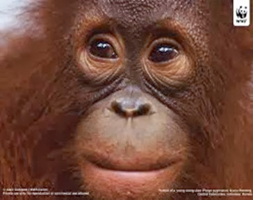 Amazing Pictures of Animals, Photo, Nature, Incredibel, Funny, Zoo, Bornean orangutan,Pongo pygmaeus, Primates, Alex (20)