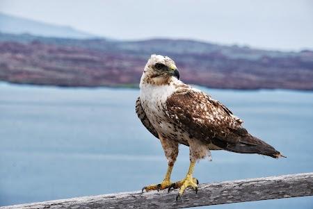 Imagini Galapagos: Vultur bartholomeo