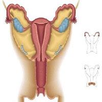ovario.jpg