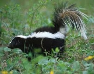Amazing Pictures of Animals, Photo, Nature, Incredibel, Funny, Zoo, Skunks, Polecats, Mammals, Alex (3)