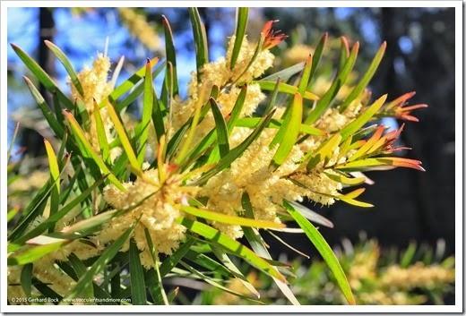 150307_UCDA_023_Acacia-iteaphylla