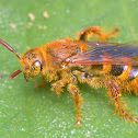 Hairy Wasp