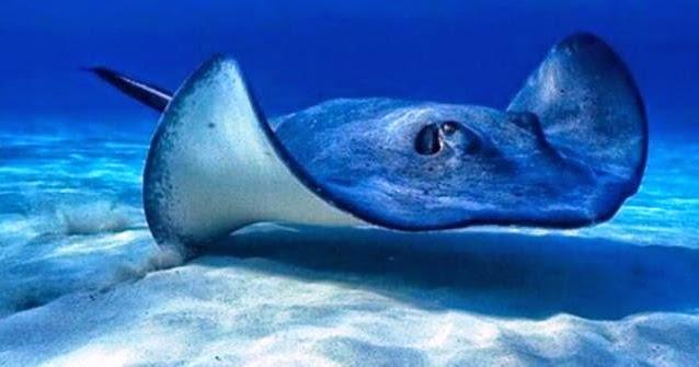 Dunia Mancing Umpan Jitu Ikan Pari