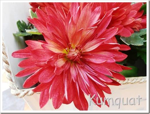 crisantemo 4