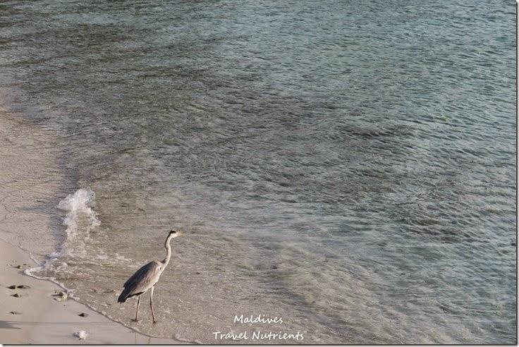 馬爾地夫 Centara渡假村 (24)