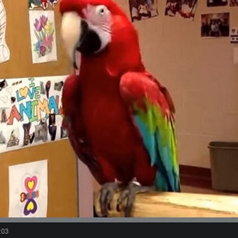 Παπαγάλος χορεύει