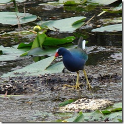 DSC07538 purple gallinule 2
