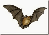 Bat_little_brown