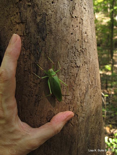 katydid with hand