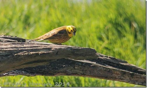 1-yellowhammer