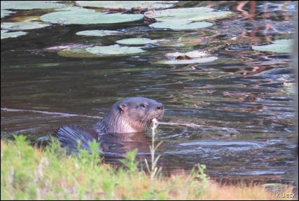 otter at Quail Run