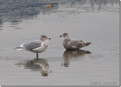 Glaucous-wing Gulls