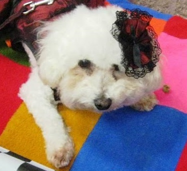 Camillia knew she wanted to adopt a bichon frise that was not a puppy. She finds adult dogs easier, as they are often already house trained, no longer chew things...