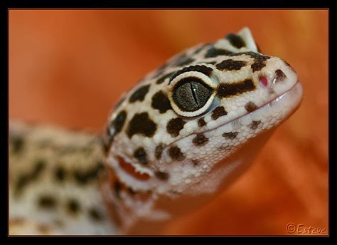 Amazing Pictures of Animals, Photo, Nature, Incredibel, Funny, Zoo, Eublepharis macularius, Leopard gecko, Alex (1)