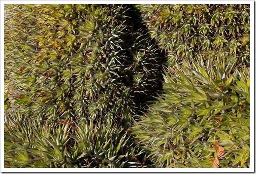 111228_UCBG_Deuterocohnia-brevifolia_02