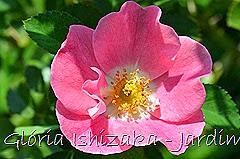 5 - Glória Ishizaka - Rosas do Jardim Botânico Nagai - Osaka