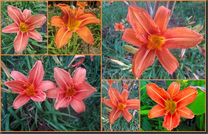orange day lilies0608