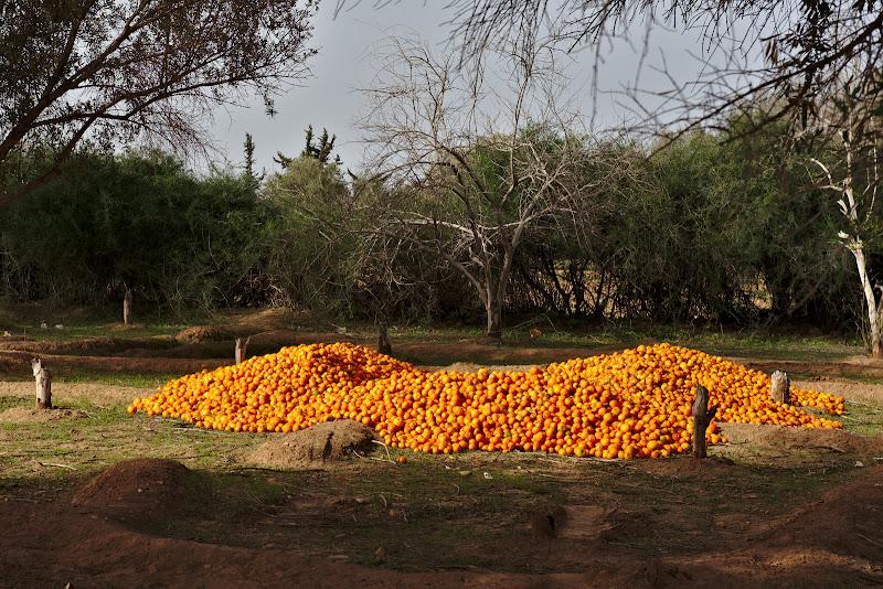 Portocale. Mii de portocale.