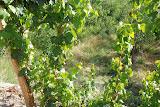 Hami - Vigne dans champs de melon
