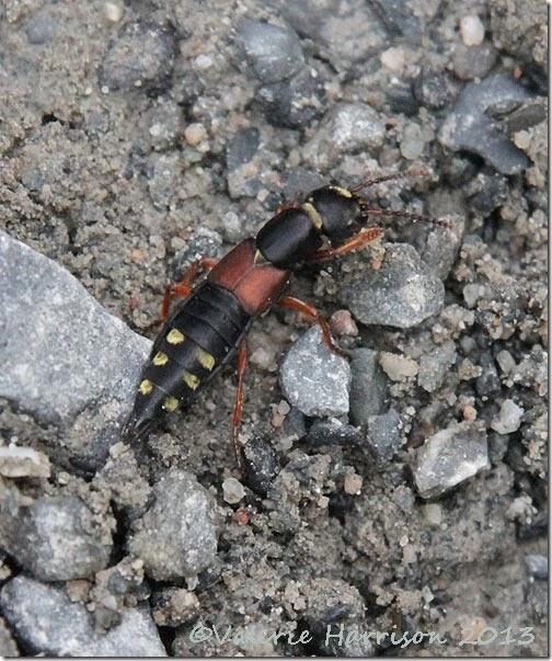 32-Platydracus-stercorarius